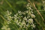 Wild Madder (White Bedstraw) - Galium mollugo