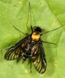 Golden-backed Snipe Fly - Chrysopilus thoracicus (female)