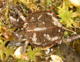 baby Painted Turtle - Chrysemys picta