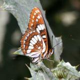 Lorquin's Admiral - Limenitis lorquini