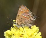 Great Basin Juniper Hairstreak - Callophrys gryneus chalcosiva