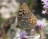Great Basin Fritillary - Spereria egleis