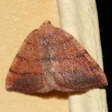 6688 - Drepanulatrix carnearia