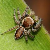 Calif. Spiders