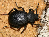 Darkling Beetles - Subfamily Tenebrioninae