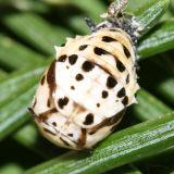 Anatis rathvoni (pupa)