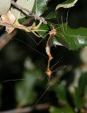 crane flies mating - Tipula sp.