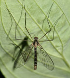 Net-winged Midges - Blephariceridae