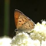 male Gorgon Copper - Lycaena gorgon