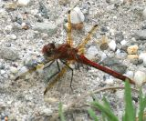Red-Veined Meadowhawk - Sympetrum madidum