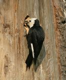 White-headed Woodpecker - Picoides albolarvatus (female feeding young)