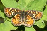 Field Crescent - Phyciodes campestris