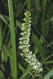 White Rein Orchid - Platanthera leucostachys