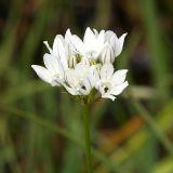 White Brodiaea - Triteleia hyacinthina