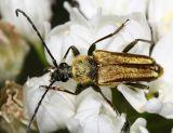 Lepturobosca chrysocoma