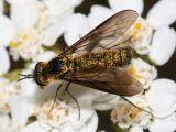 Thevenemyia luctifera
