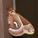 7770 Ceanothus Silkmoth - Hyalophora euryalus