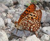 Northwestern Fritillary - Speyeria hesperis irene