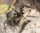 Funnel-Web Spider - Agelenidae