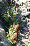 Applegate's Paintbrush - Castilleja applegatei