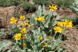 Arrow-leaved Balsam-root - Balsamorhiza sagittata