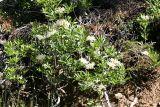 Western Azalea - Rhododendron occidentale