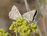 Edith's Coppers - Lycaena editha
