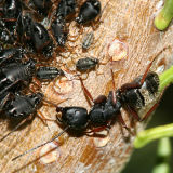 Camponotus modoc  (with Cinara sp. aphids)
