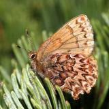 Western Pine Elfin - Callophrys eryphon