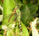 Eastern Pondhawk - Erythemis simplicollis (female eating a Meadowhawk)