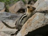 Golden Mantled Ground Squirrel - Spermophilus lateralis