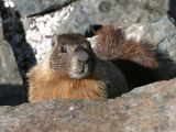 Yellow-bellied Marmot - Marmota flaviventris