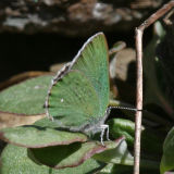 Sheridan's Hairstreak - Callophrys sheridanii
