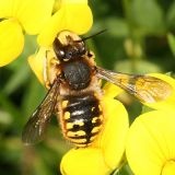 Wool Carder Bee - Anthidium manicatum