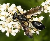 Isodontia sp.