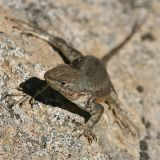 Sagebrush Lizard - Sceloporus graciosus