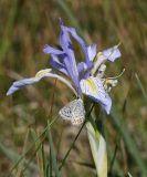 Western Blue Flag - Iris missouriensis