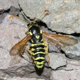 Masarinae - Pseudomasaris vespoides