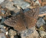 Propertius Duskywing - Erynnis propertius