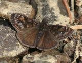 Pacuvius Duskywing - Erynnis pacuvius