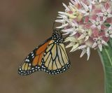 Monarch - Danaus plexippus