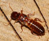 Termite - Isoptera