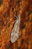 Caddisfly - Trichoptera
