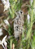 Slow Mountain Grasshopper - Bradynotes obesa