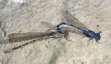 Vivid Dancers - Argia vivida (mating pair)