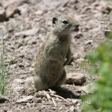 Belding's Ground Squirrel - Spermophilus beldingi