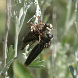 one robber fly eating another