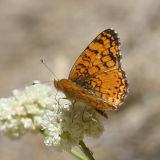 Mylitta Crescent - Phyciodes mylitta