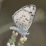Rita Blue - Euphilotes pallescens calneva