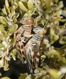 mating Valley Grasshoppers - Oedaleonotus enigma